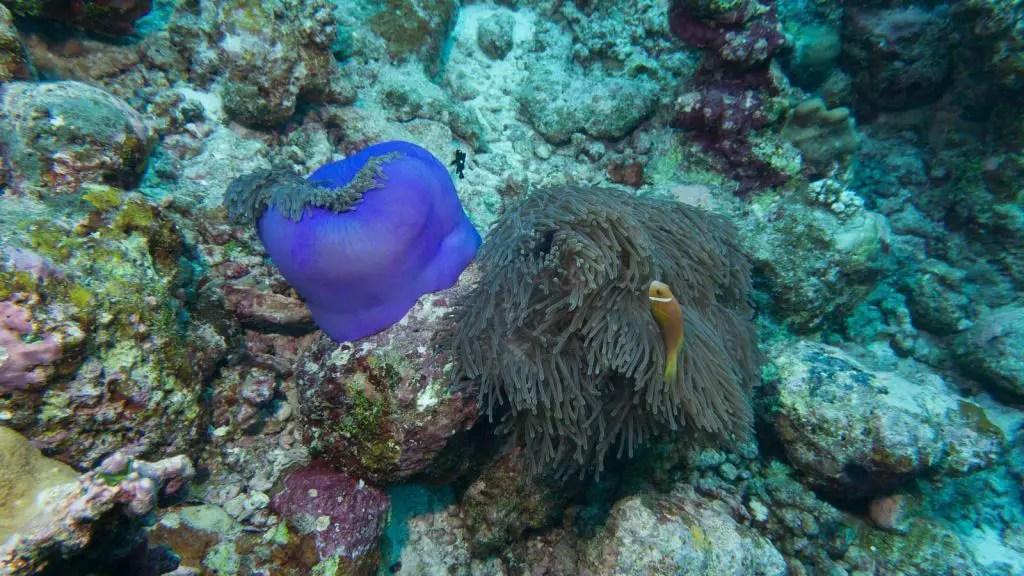anemone maldives scuba diving