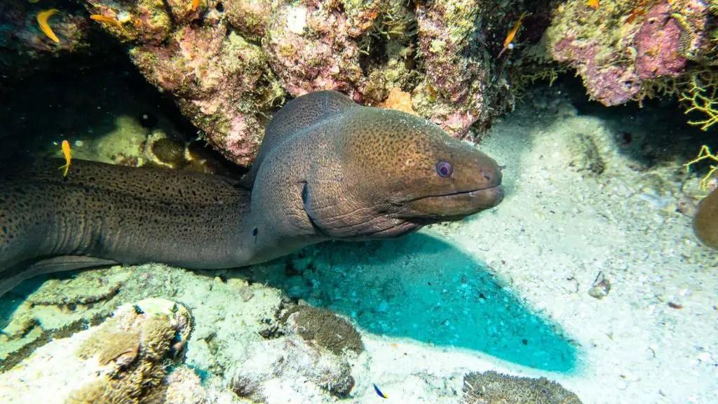 Fish head Maldives scuba diving