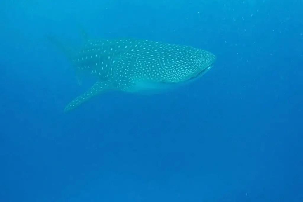 whale shark maldives snorkeling diving