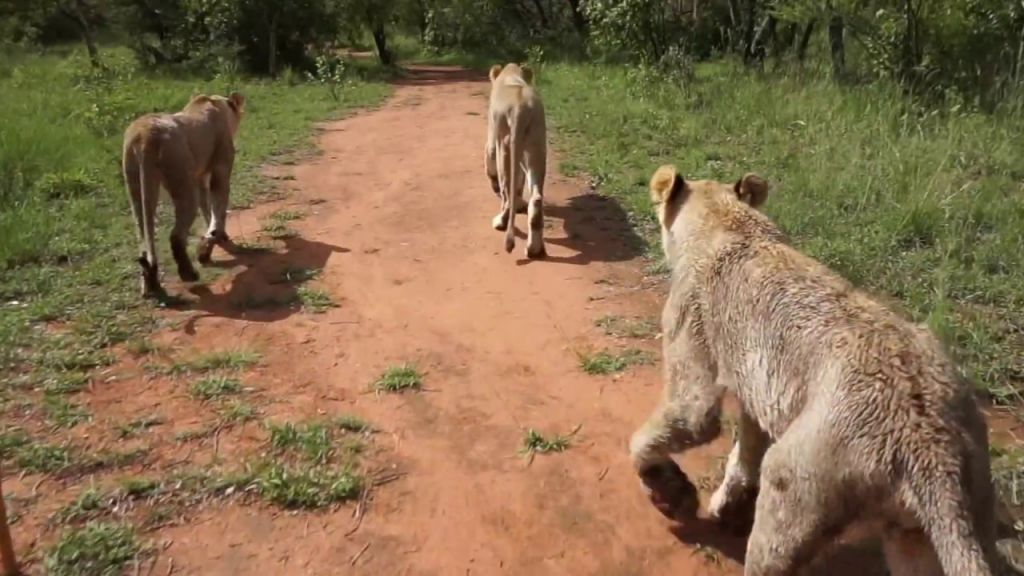 Walking with lions ukutula lodge