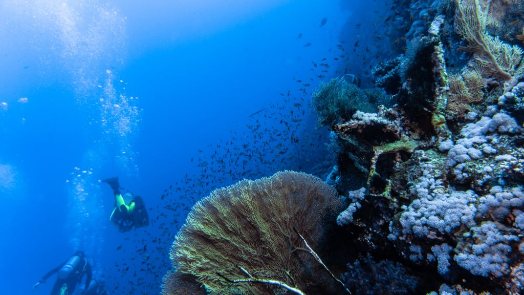 Stunning fan corals in Little brother diving