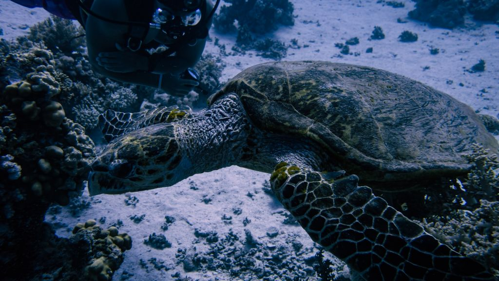 Turtles in abu dabab diving egypt marsa alam