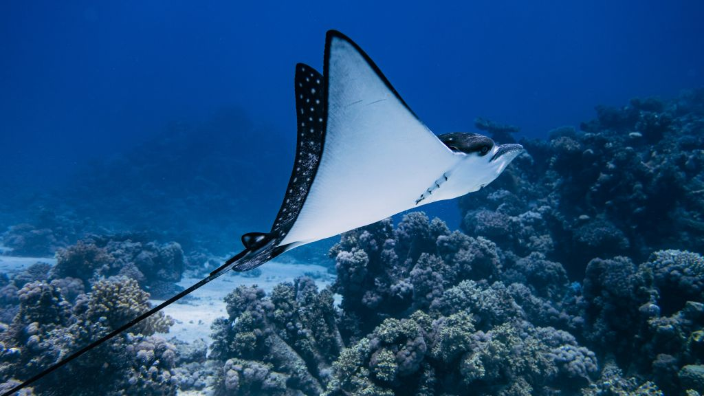 Eagle Ray in Abu Dabab