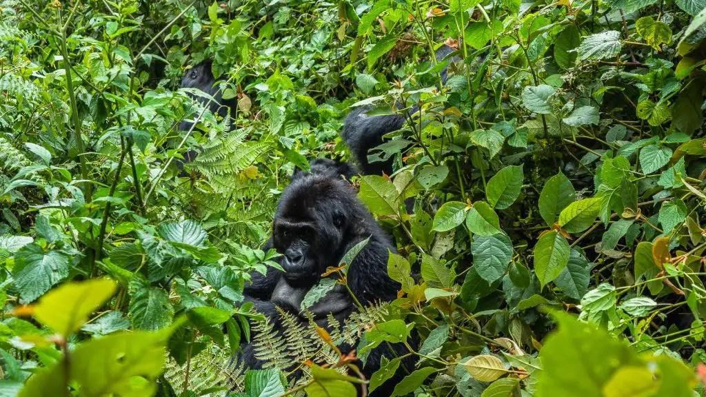 Gorillas Kahuzi Biega