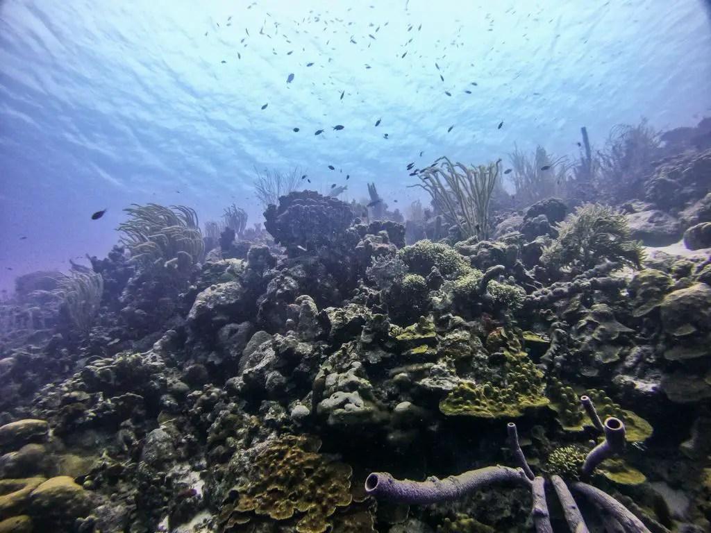 Scuba diving bonaire corals