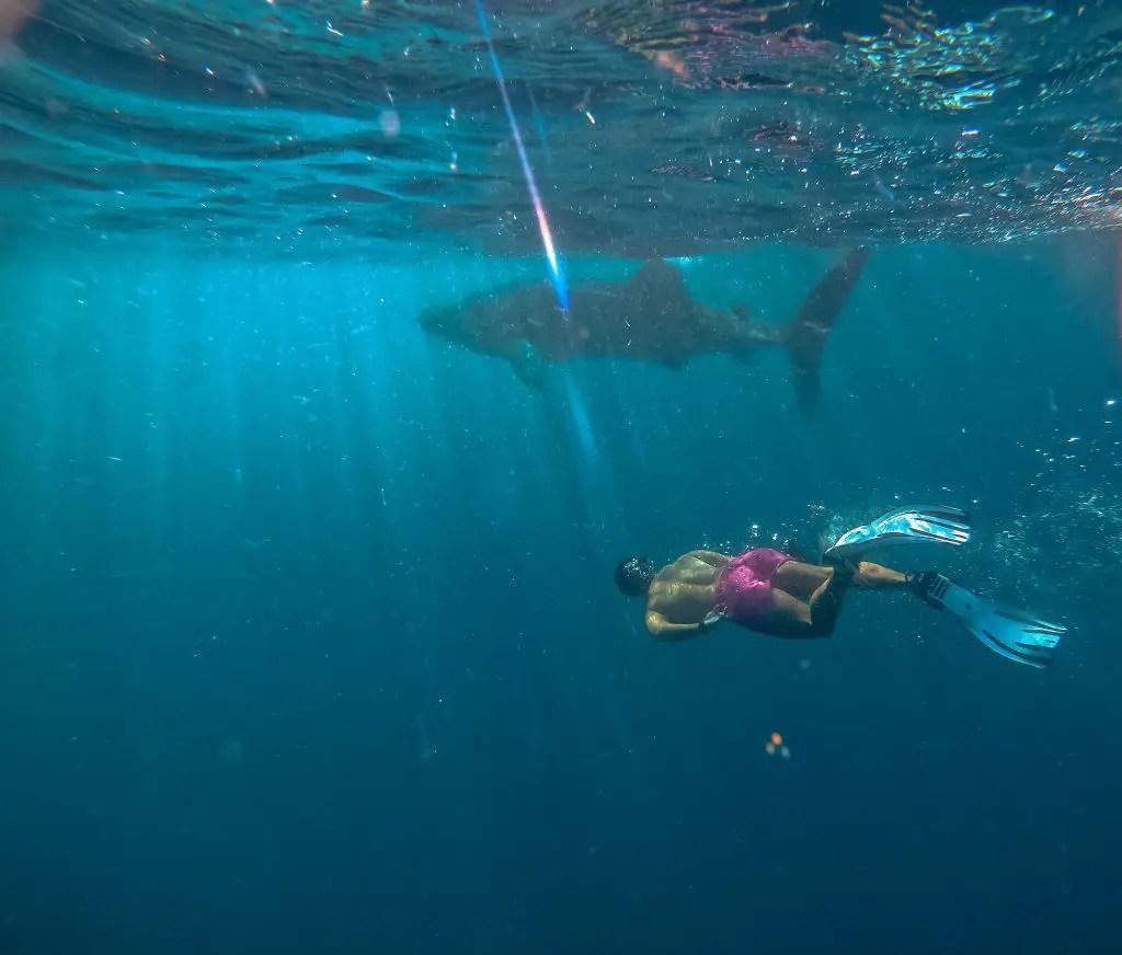 whale shark mafia island tanzania
