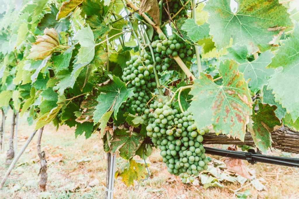 Antiinori Grape Vines