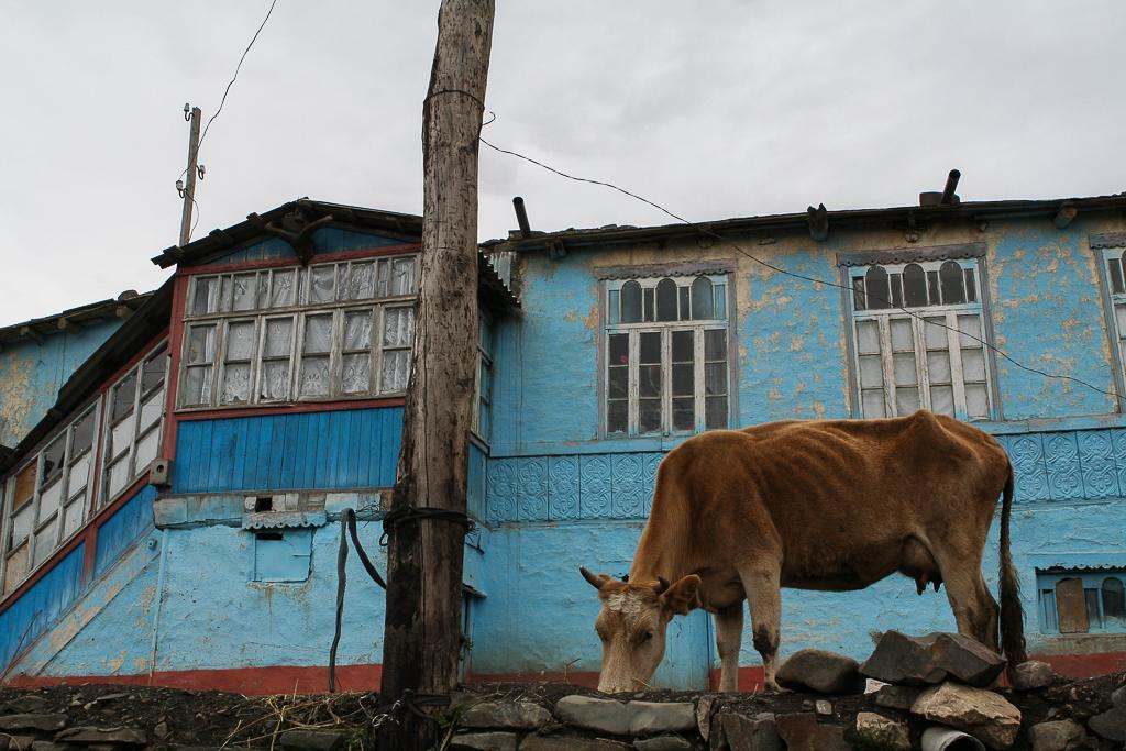 Azerbaijan Xinaliq village causacus mountains 2012 cow-1