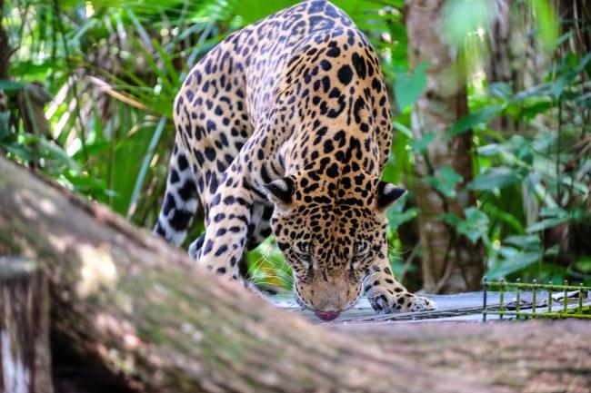 Jaguaren Junior Buddy känner doften av mat. Foto: Johnny Friskilä