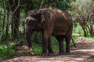 elephant-minneriya-national-park-2