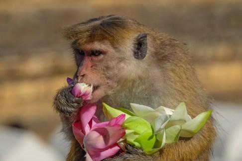 Kandy-monkey-eating-lotus