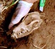 Elmendorf skull