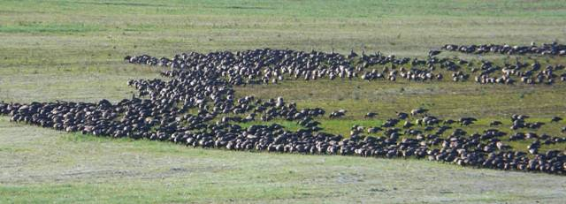 field-of-geese
