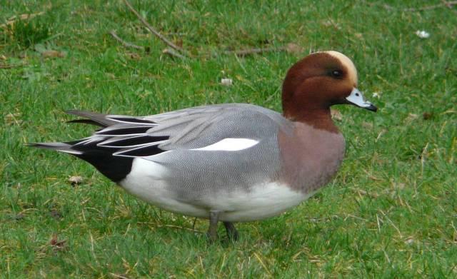 eurasian-wigeon-male2