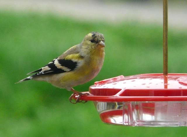 goldfinch-on-hummer-feeder