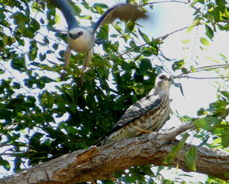 ms kite juv and adult