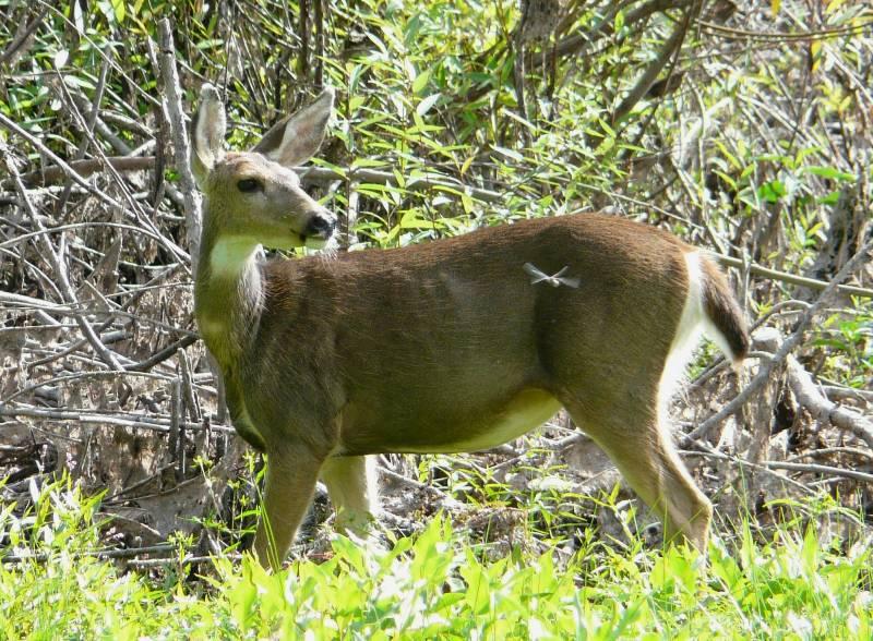 black-tailed doe
