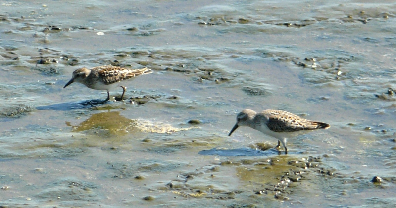 least and western sandpipers