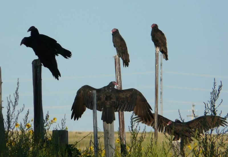 turkey vulture posts