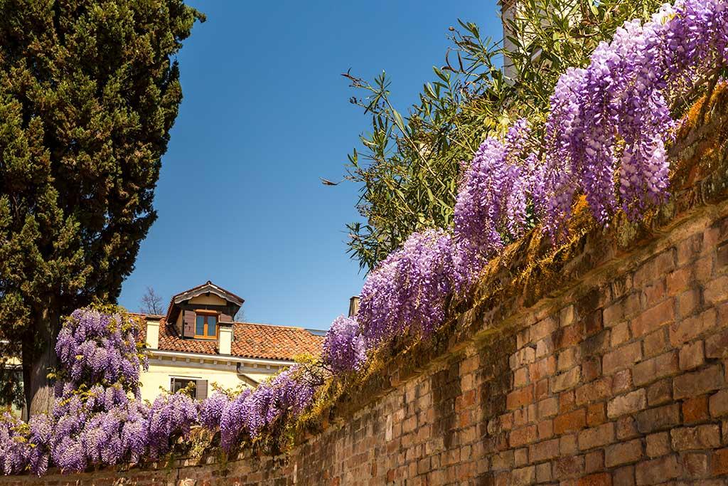 Venice wisteria