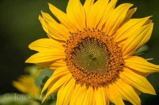 sunflower island pond vermont