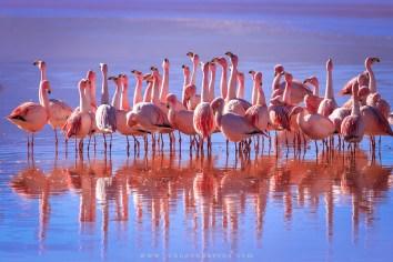 Flamingos habitam a Laguan Colorada.