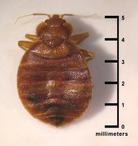 Bedbug: Photo Coutesy of CDC/ CDC-DPDx; Blaine Mathison