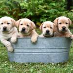 Pricing Akc Labrador Puppies Johnson Point Labradors