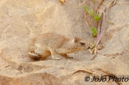 Cape Rock Hyrax in Tarangire National Park (their closest living relatives are elephants!)