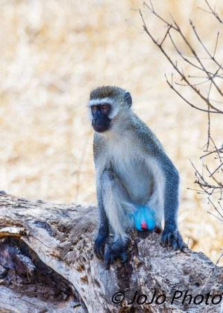 Black-Faced Vervet Monkey in Tarangire National Park. Check out my privates!
