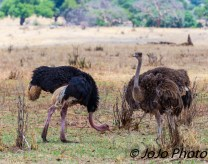Ostrich Couple in Tarangire National Park
