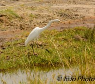 Yellow-Billed Egret in Tarangire National Park