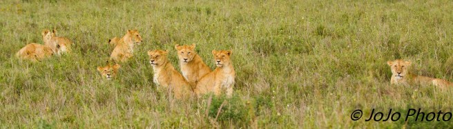 Lion Pride at the Simba Kopjes in Serengeti National Park