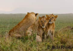Wet lions in the Serengeti National Park