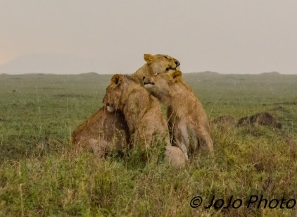 Wet lions grooming in the Serengeti National Park