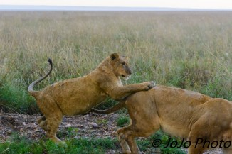Lions playing in the Serengeti National Park