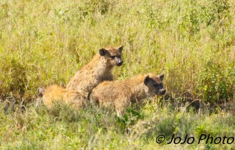 Spotted Hyenas mating in Serengeti National Park