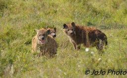 Spotted Hyenas - a group can be called: pack, clan, or cackle