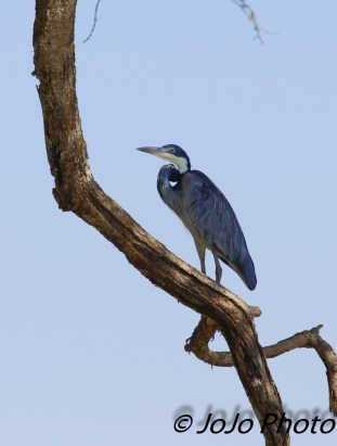 Black-headed Heron in Serengeti National Park
