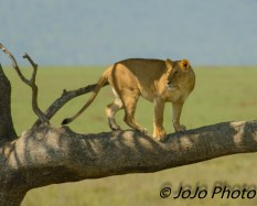 Lion in tree in Serengeti National Park