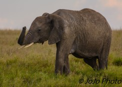 Elephant in Serengeti National Park