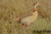 Egyptian Goose in Serengeti National Park