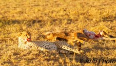 Cheetah eating a wildebeest calf in Serengeti National Park