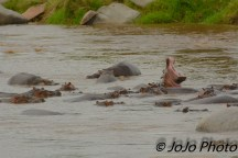 Hippos in the Mara River in Serengeti National Park