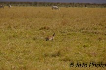 Serval Cat in Ngorongoro Crater