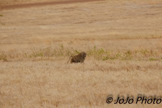 Olive Baboon in Ngorongoro Crater