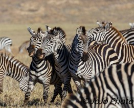 Zebra Laugh (group can be called a dazzle or a zeal) in Ngorongoro Crater