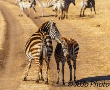 Burchell's Zebra with Foal in Ngorongoro Crater