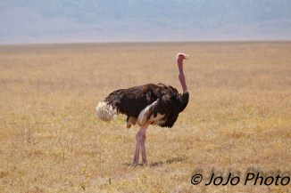Masai Ostrich Rooster in Ngorongoro Crater