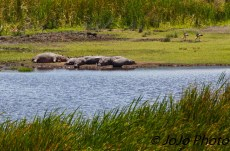 Hippo herd (bloat, raft, or pool) in the Hippo Pool at Ngorongoro Crater